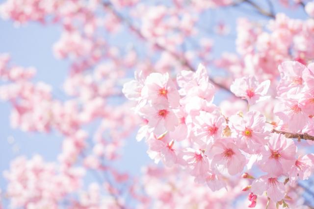 4. 桜色に染まる公園でお花見鑑賞♪ 【大阪万博記念公園】