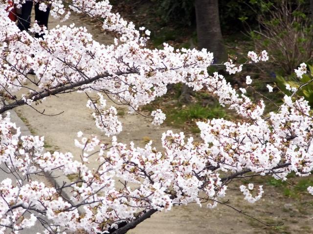 2. 河川敷で春風に吹かれながら楽しむお花見 【毛馬桜之宮公園】