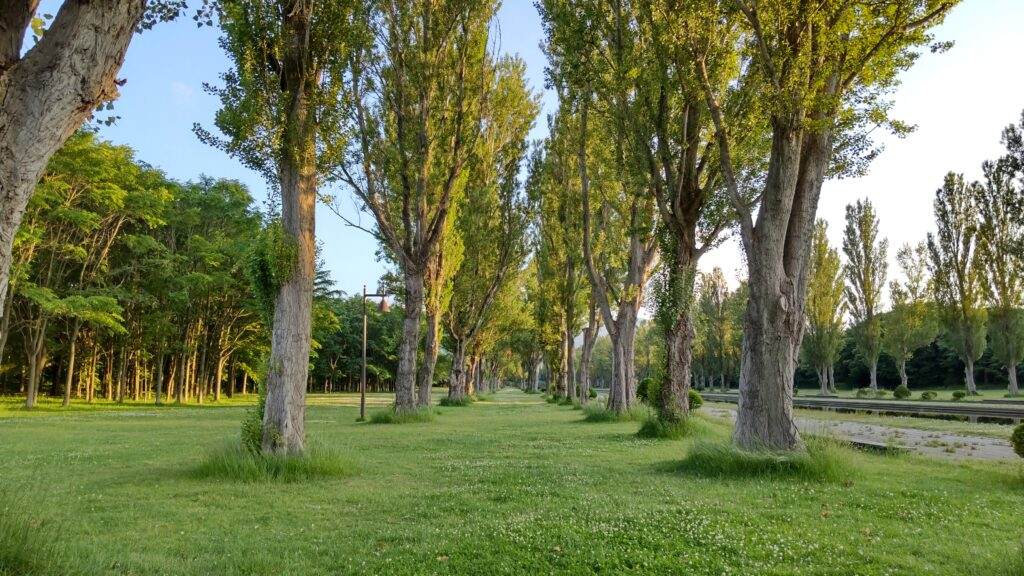 前田森林公園のポプラ並木