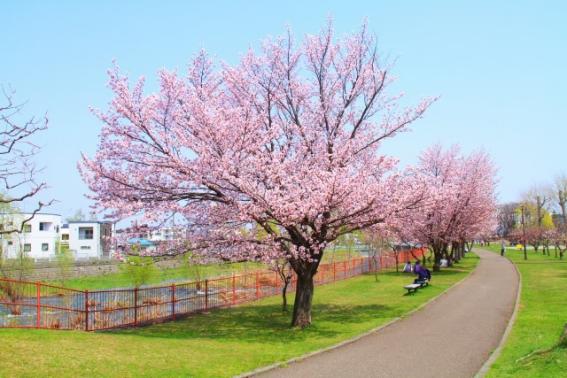 札幌市民おすすめの桜の名所6選