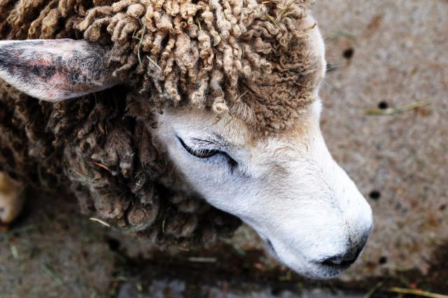 埼玉のふれあい動物園 羊