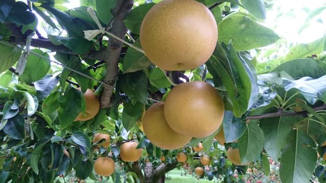梨がなっている梨の木