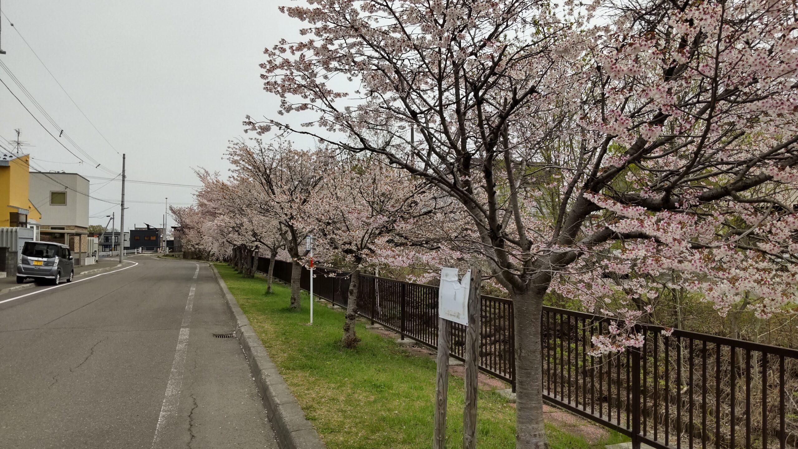 旧軽川緑地の桜