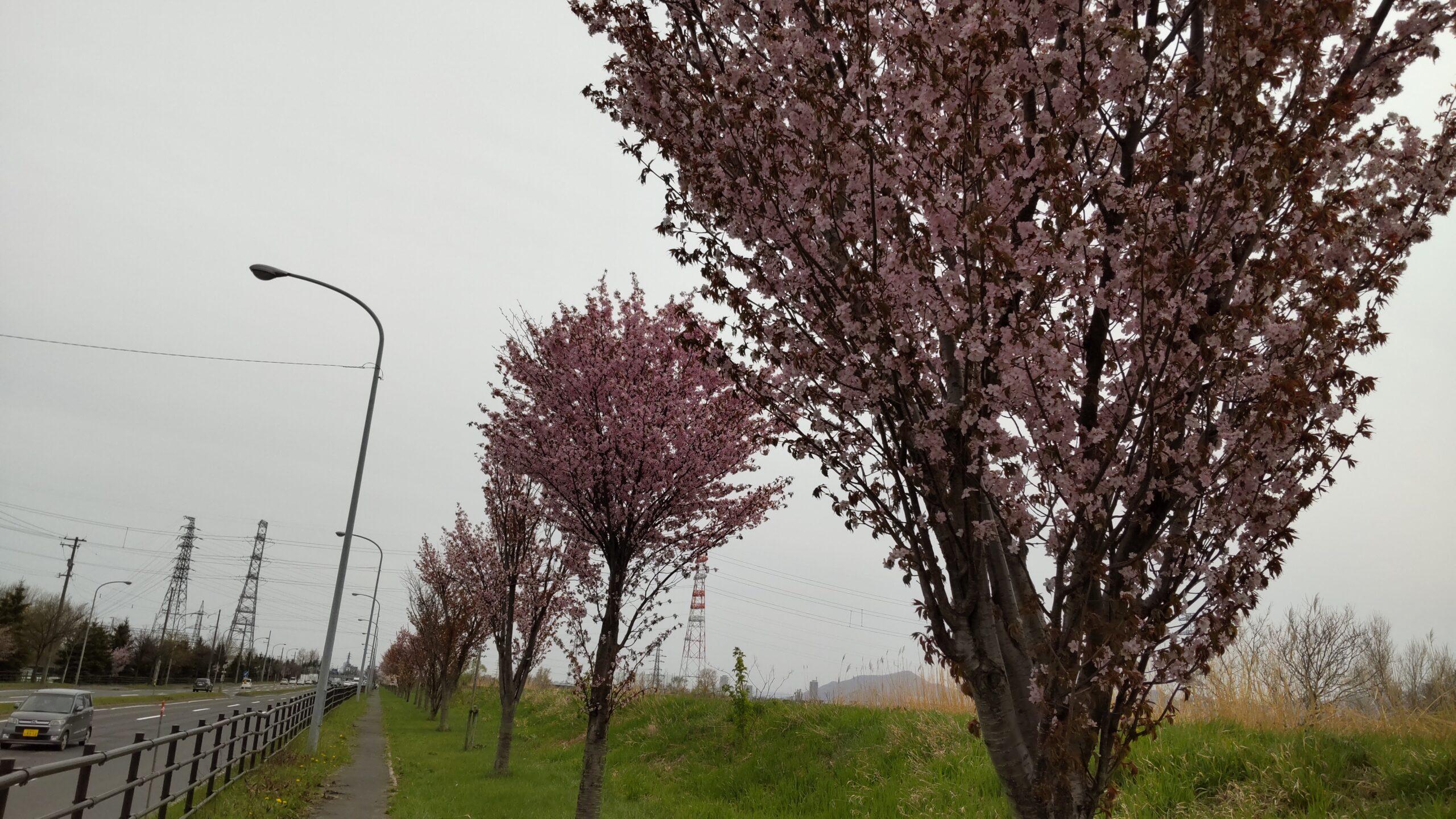 新川さくら並木の桜