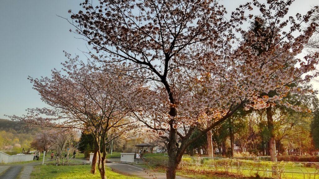 発寒川緑地の桜並木